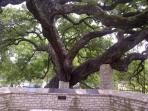 Foiunder's Tree Landa Park