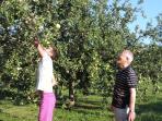 Picking apples in the garden