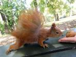 Squirrels from Royal Lazienki Park, are not afraid of people and often come close,even to our garden