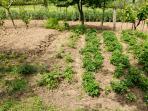 The kitchen garden offers BIO vegetables.