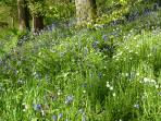 The bluebells look beautiful in late April
