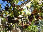 Our own supply of grapes