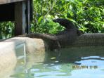A monitor lizard trying to sneak a dip in the pool!