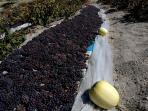 Grapes- Taste famous Cappadocian Homemade wine