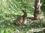 Our Resident Hare!