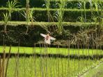 Surroundings, an authentic area: sawas, paddyfields