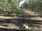 The olive grove in the garden has over 200 trees. Fancy helping us picking olives in the autumn?
