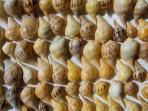 Pear Whelks found on Sanibel