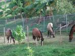 Horses on our road
