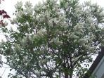 Flowering Jaqaranda