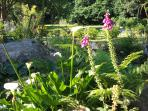 The garden in June with stunning Cala Lillies and wild Foxgloves