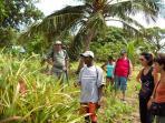 ballades dans la forêt primaire à la découverte des papayers, manguiers, avocatiers, etc...