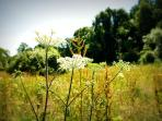 Sweet scented meadows at Colmer leading to the woods