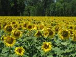 Nearby sunflower fields