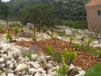 Dalmatian vineyard