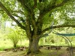 The ancient Oak tree in the middle of 200 acres of Middle Coombe woodland