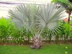 The garden consist of tropical flowers, palmtrees and a huge lawn.