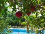 Pomegranate trees in the garden.