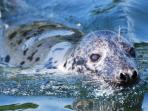 See Snowdrop one of our local seals, when you take a boat trip out of Looe Harbour