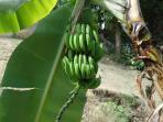 Backyard Banana Bunch!