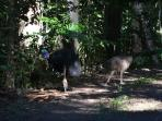 '3 cassowaries crossing the front drive way!!' A photo taken by our guest!