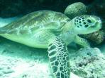 snorkiling with turtle