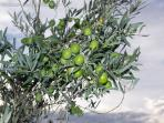 Olives of Provence in the garden