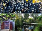 Our grapes are all around the house for you to enjoy