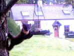 The local Pine Marten raiding the bird feeders