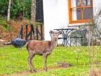 A red deer outside Fern Cottage
