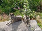 Parc animalier les Loups de Chabrières et des Monts de GUERET.