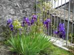 fiuritura primaverile di iris nell'area di accesso all'abitazione