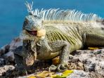 A native animal of Curacao - the iguana!