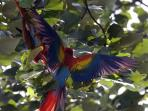 macaws, our constant companions, showing off to each other
