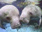 Our most famous residents - tha manatees