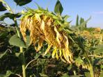 Last of the Sunflowers!!!