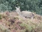 Red deer on the moor side above Dunster