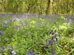 Bluebells in the wood nearby on the lake in May