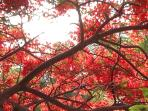 Flame Tree flowers from May-Nov, amazing