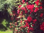 rosa rosae rosam........
