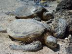 Honu's ( sea turtles) resting