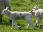 Springtime in Moray - lots of lambs