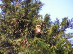 Yawny Owl