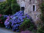 Les hortensias, la plante emblématique de Bretagne, tout près du gîte