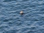A seal viewed from the shore.