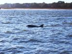 Dolphins frolic just down the beach in the Kiawah River