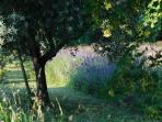 L'allée de lavandes et d'oliviers
