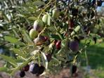 OLIVE PICKING experience for free with every booking in November