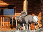 Big Horn Sheep at cabins