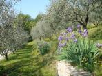 fioritura degli iris